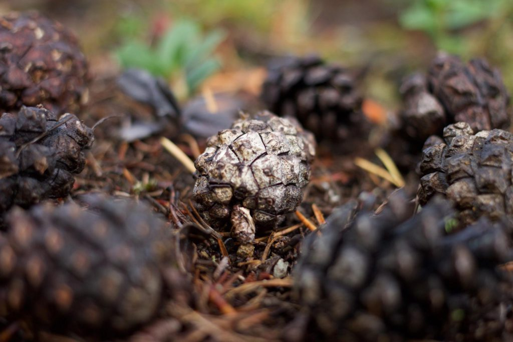 pinecone-1024x683